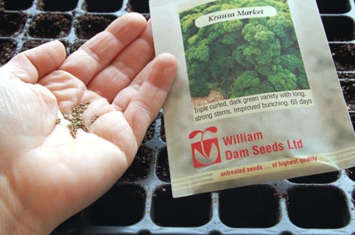 Parsley seeds held in the palm of a hand.