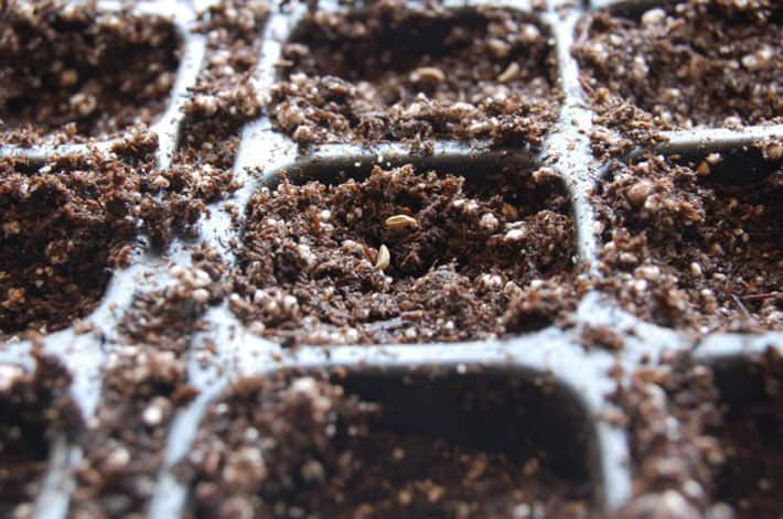 A close up view of tiny parsley seeds on top of soilless mix.