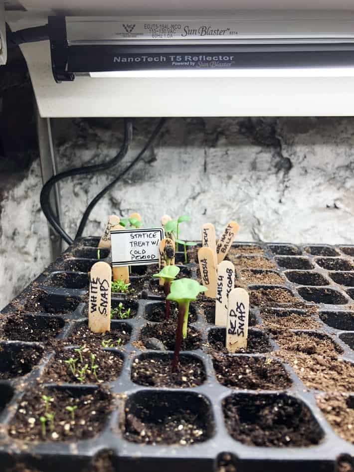 T5 grow lights over seedlings in pre true leaf stage which are known as Cotyledons.