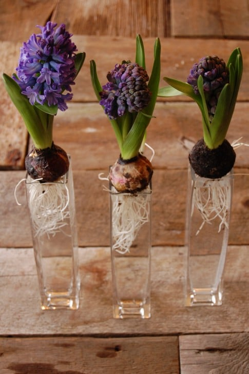 Hail To The Hyacinth Ways To Display The Art Of Doing