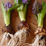 Hail to the Hyacinth! <br /> Ways to Display