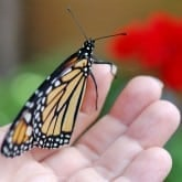 How to Raise a Monarch Butterfly | Part II of V | Save the Monarchs