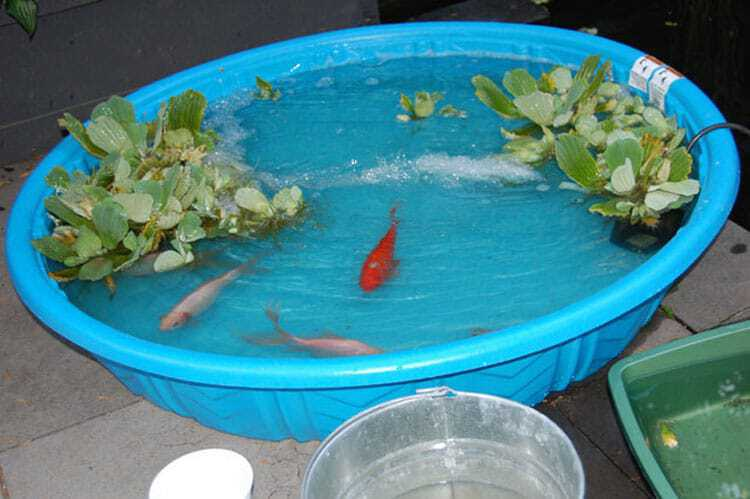 Fish that seem to have flesh eating disease how to treat for Temporary koi pond
