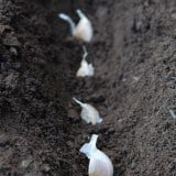 How to Plant Garlic<br>Now's the time!