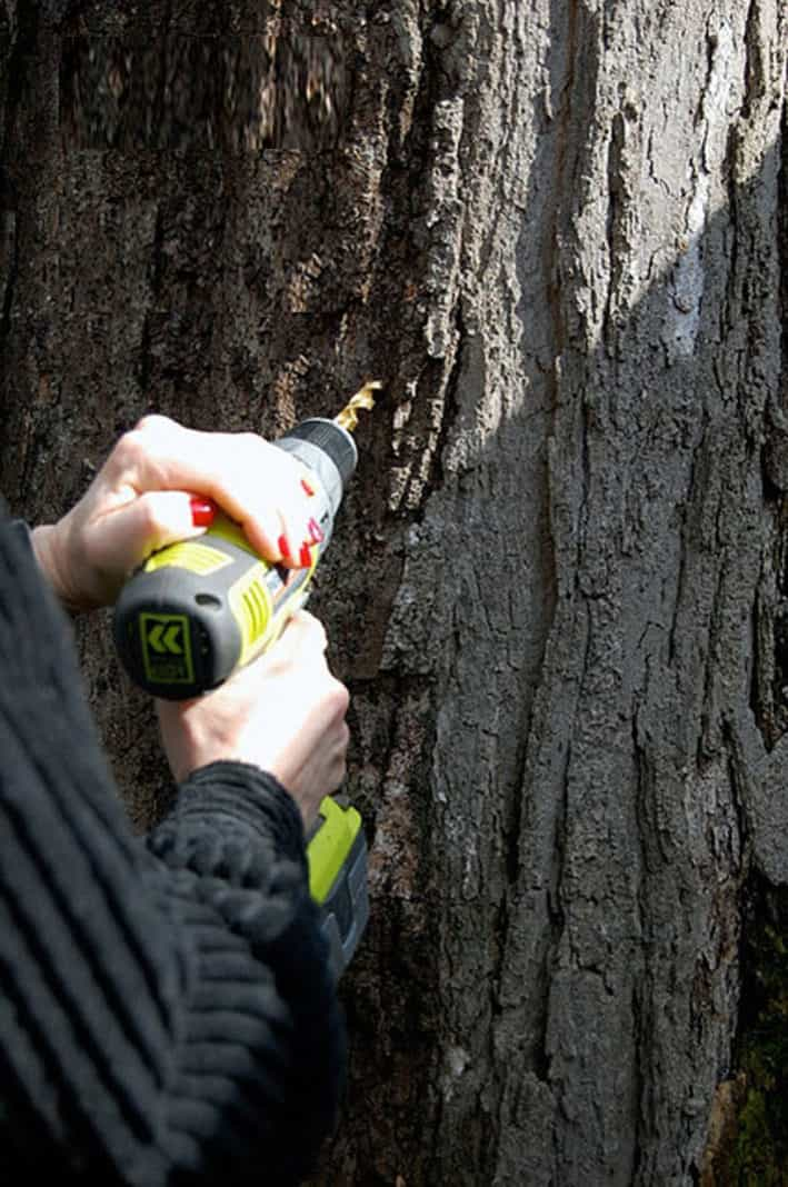 Drilling at an upwards angle into a large maple tree with a cordless drill.