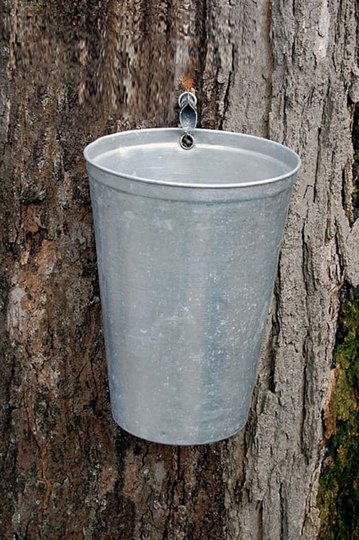 A vintage sap buckets hangs off a tap on an old maple tree.