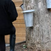 Have a Maple Tree? How to Tap a Maple Tree for Making Syrup!