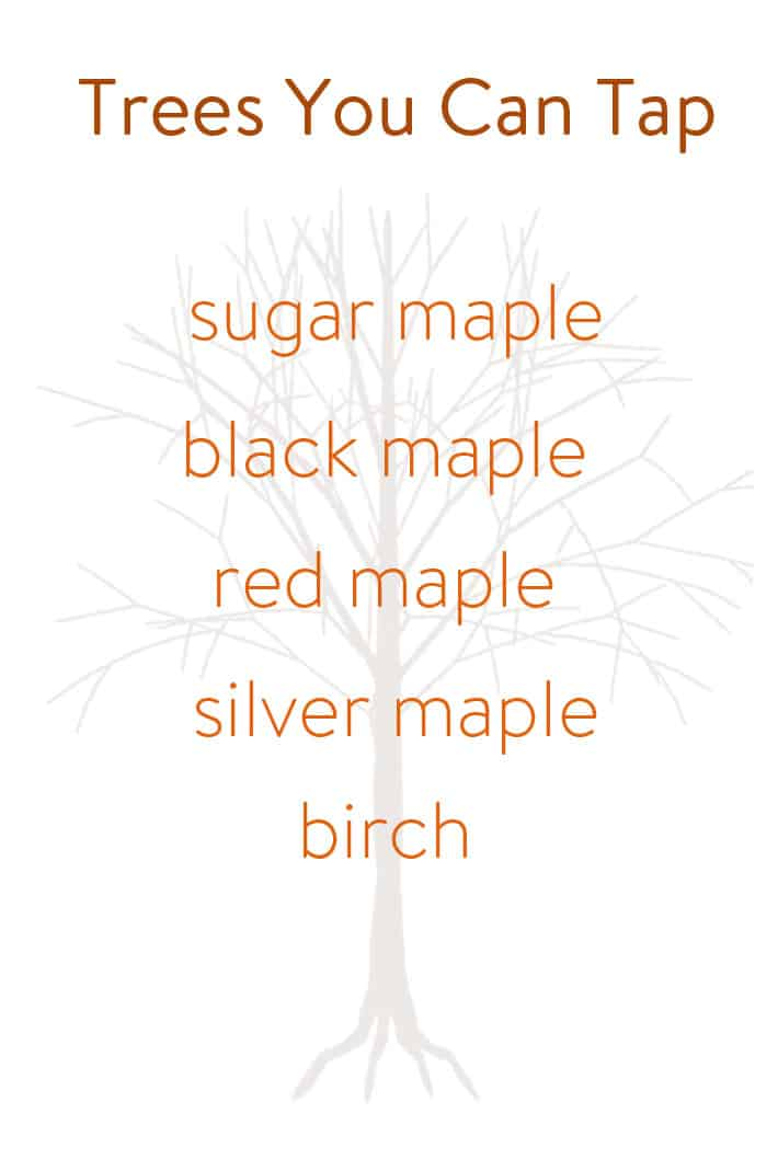 317fce08762 A birch tree. All of these trees have enough sugar in their sap to make  maple syrup. The difference is the sugar maple and the black maple both have  higher ...