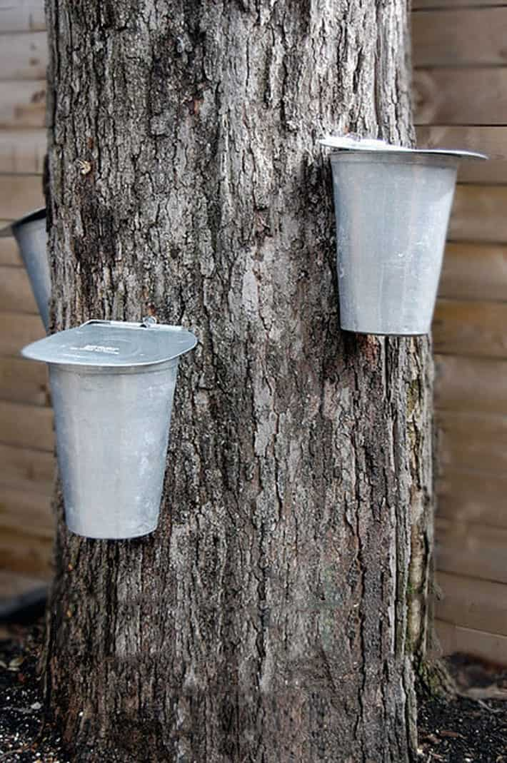 Vintage sap buckets hanging off or very large maple tree trunk.