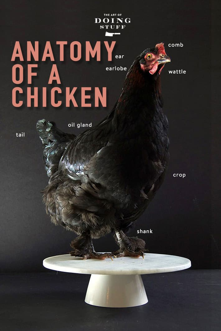 Anatomy of a Chicken. From Tip to Tail.