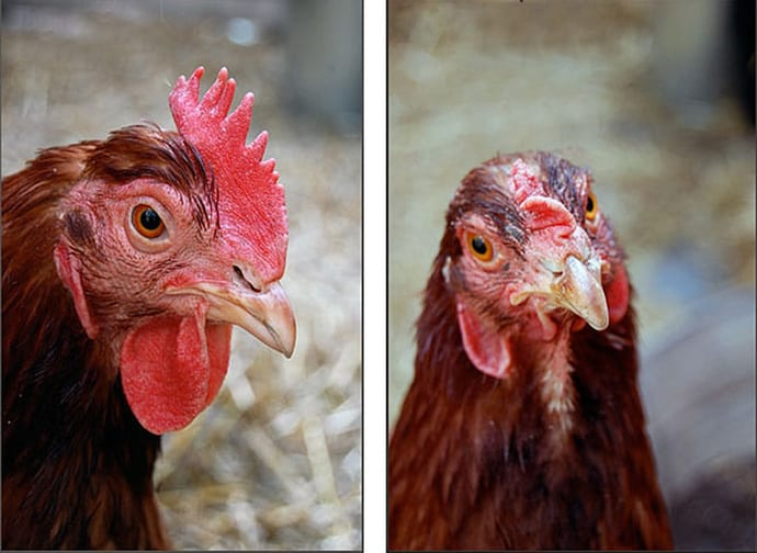 The head of a Rhode Island Red chicken shows a classic single comb, beside a mixed breed showing a pea comb.