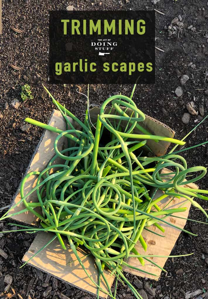 Garlic Scapes. If You\'re Growing Garlic Here\'s What You Need To Do Right Now.