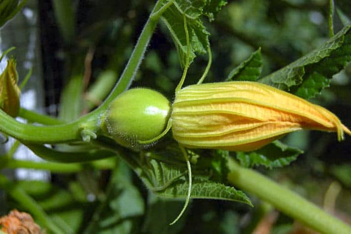 Female squash flower with a small acorn squash at its base.