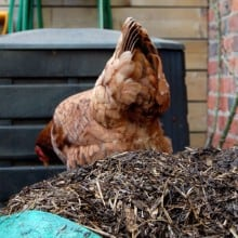A chicken stands on top of a partially decomposed compost pile.