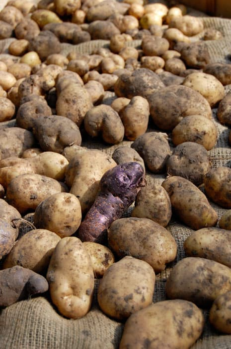 How To Harvest And Store Potatoes The Art Of Doing Stuff