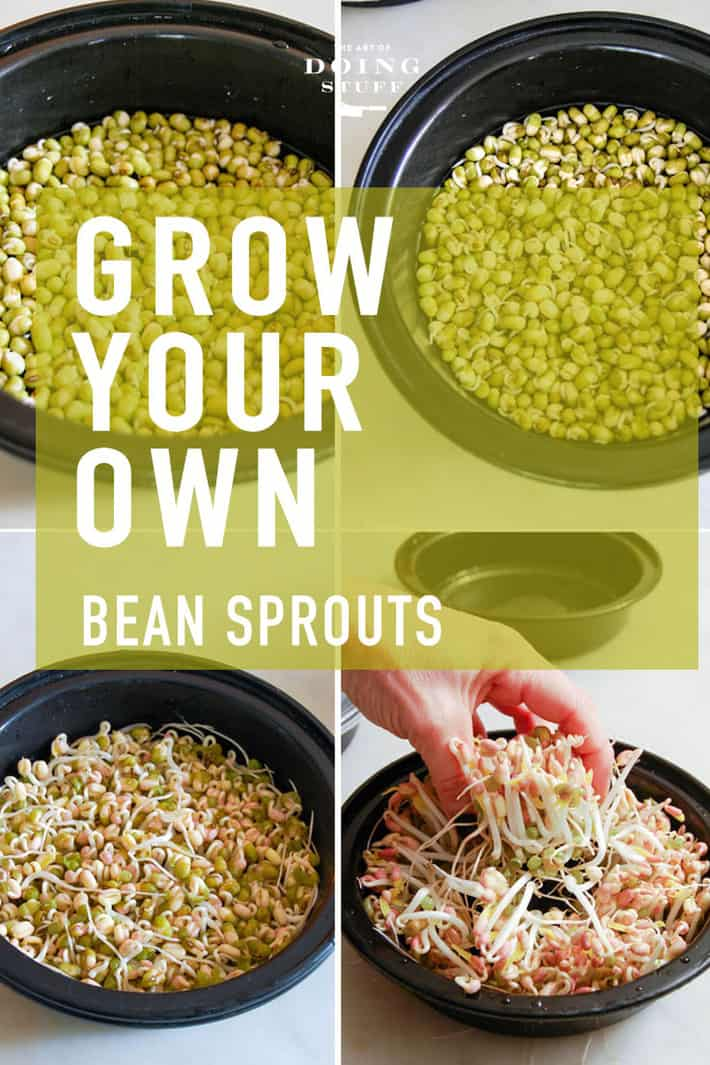 How to Grow Mung Bean Sprouts!