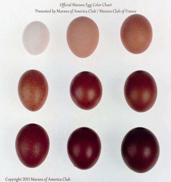 Marans-egg-chart