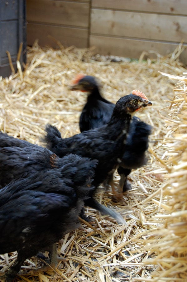 5-week-old-french-marans-chicks
