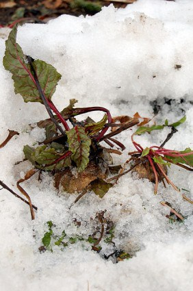 Beets Under Snow