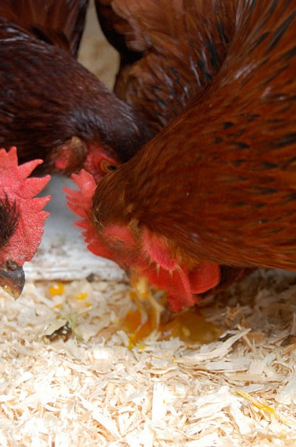 Chickens Eating Egg2