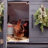 The Latest in Chicken Coop Decor. It is TOO a Thing.