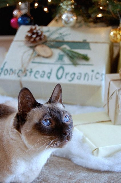 Siamese cat sits in front of Christmas presents.