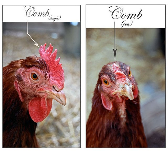 Side by side photos of hens, one with a pea comb another with a single comb.