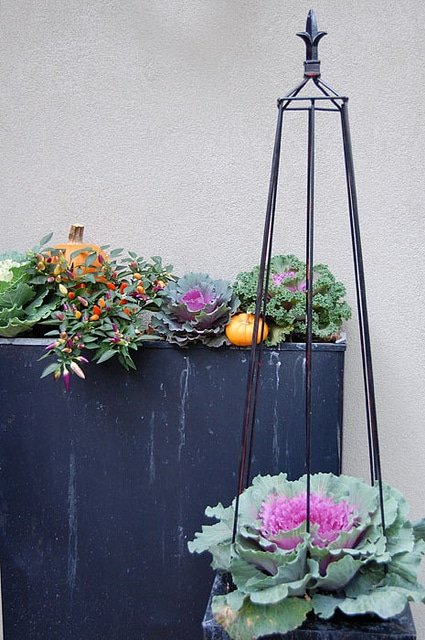 Fall Cabbages In Planters