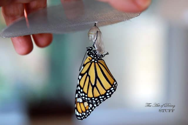 How-to-raise-a-monarch