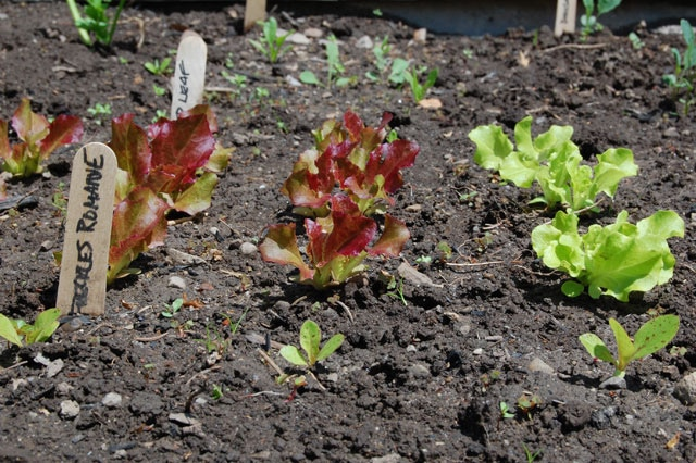 Leaf Lettuces