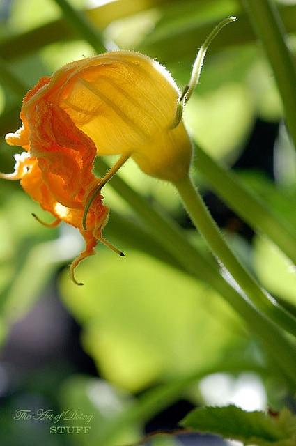 Male Squash Flower