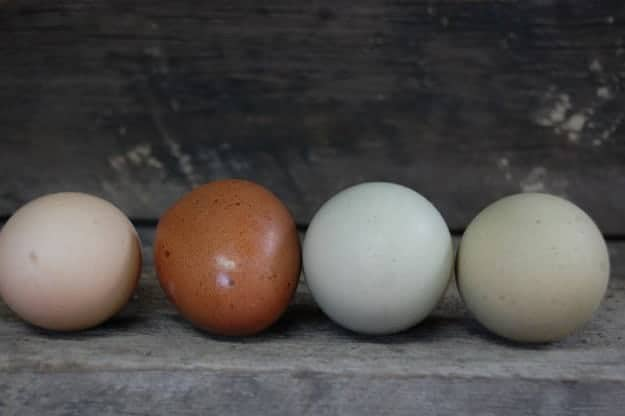 Marans Eggs 19