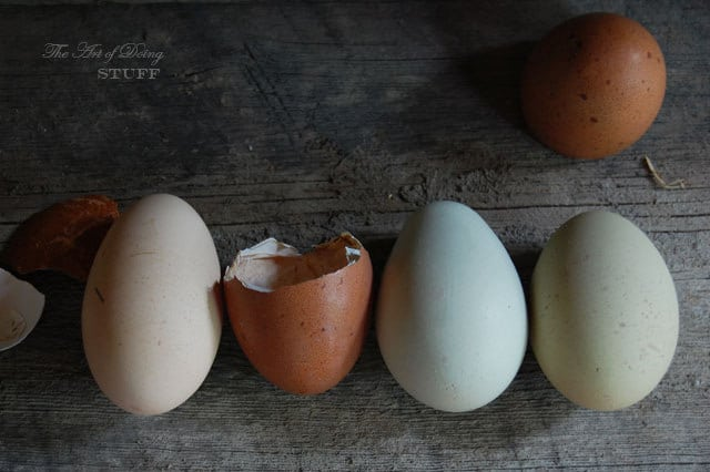 Marans Eggs 20