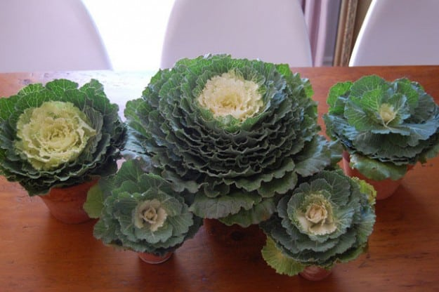 Ornamental Cabbage 7