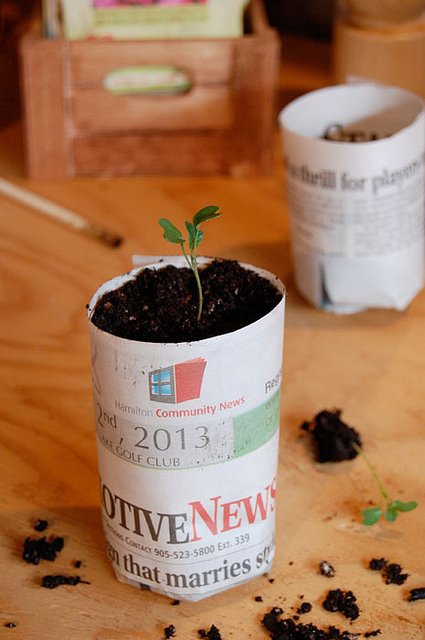 Tiny tomato seedling in paper pot.