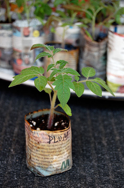 Plum Tomatoes 1