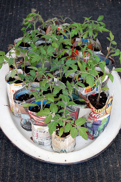 Plum Tomatoes 2