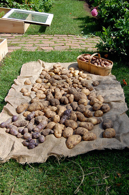 Potato Harvest 2013