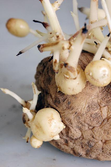Potatoes Growing On Potato