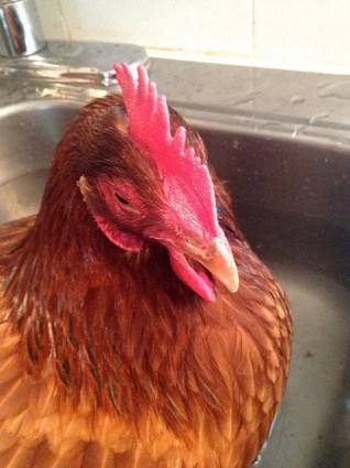 Sick Chicken 1