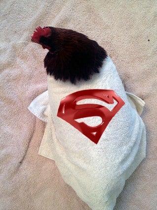 Sick Chicken 3 B