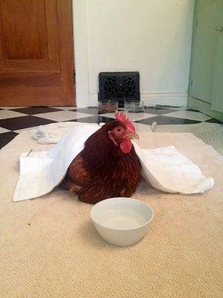 Sick Chicken 4