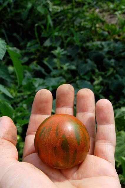 Striped Tomato
