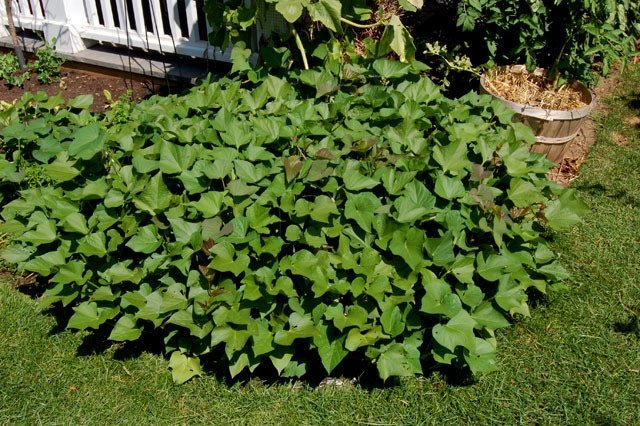 Sweet Potato Vines