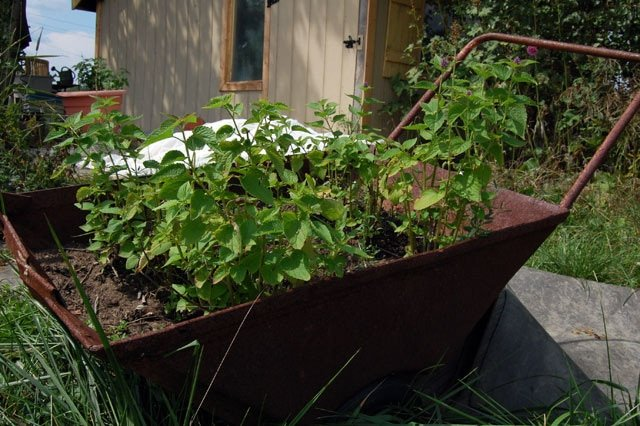 Wheelbarrow Mint
