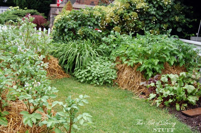 front-yard-vegetable-garden-potatoes
