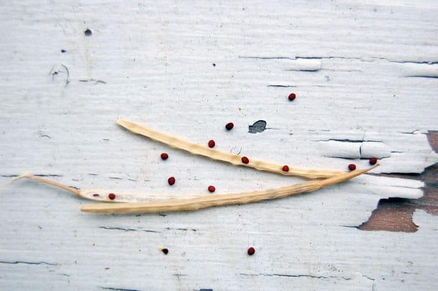 mizuna-seeds