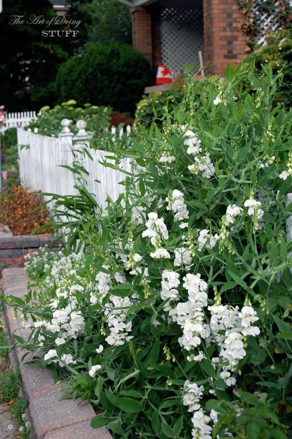 perennial-sweet-peas