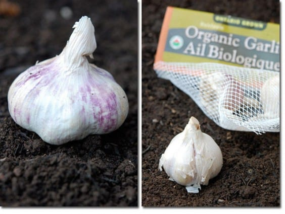 side by side garlic