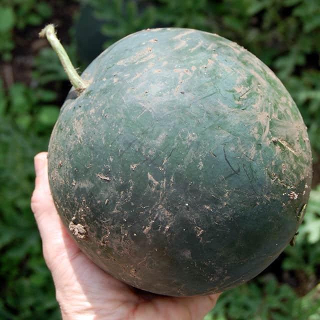 black-watermelon-3